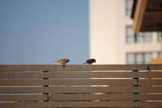 Sparrows on the Starbucks terrace