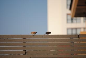Sparrows on the Starbucks terrace