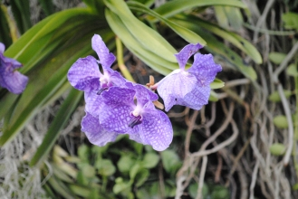 Orchids! There are so many beautiful flowers in Chiang Mai.