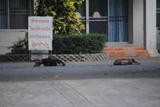 Dogs sleeping in a wat compound.